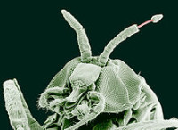 Culicoid fly in close-up