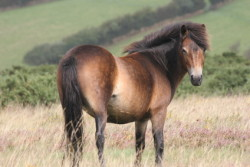 Exmoor mare on her natural terrain (c) paul h - Fotolia.com