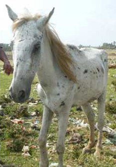 Abandoned for 3 months, this horse was blind and suffered from joint problems (c) the Brooke