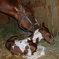 If you can reduce the chances of a premature foal, it's worth doing