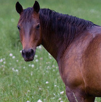 Equine Lyme mare