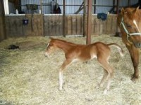 Flexural deformities can lead to premature birth and related complications © www.horseadvice.com
